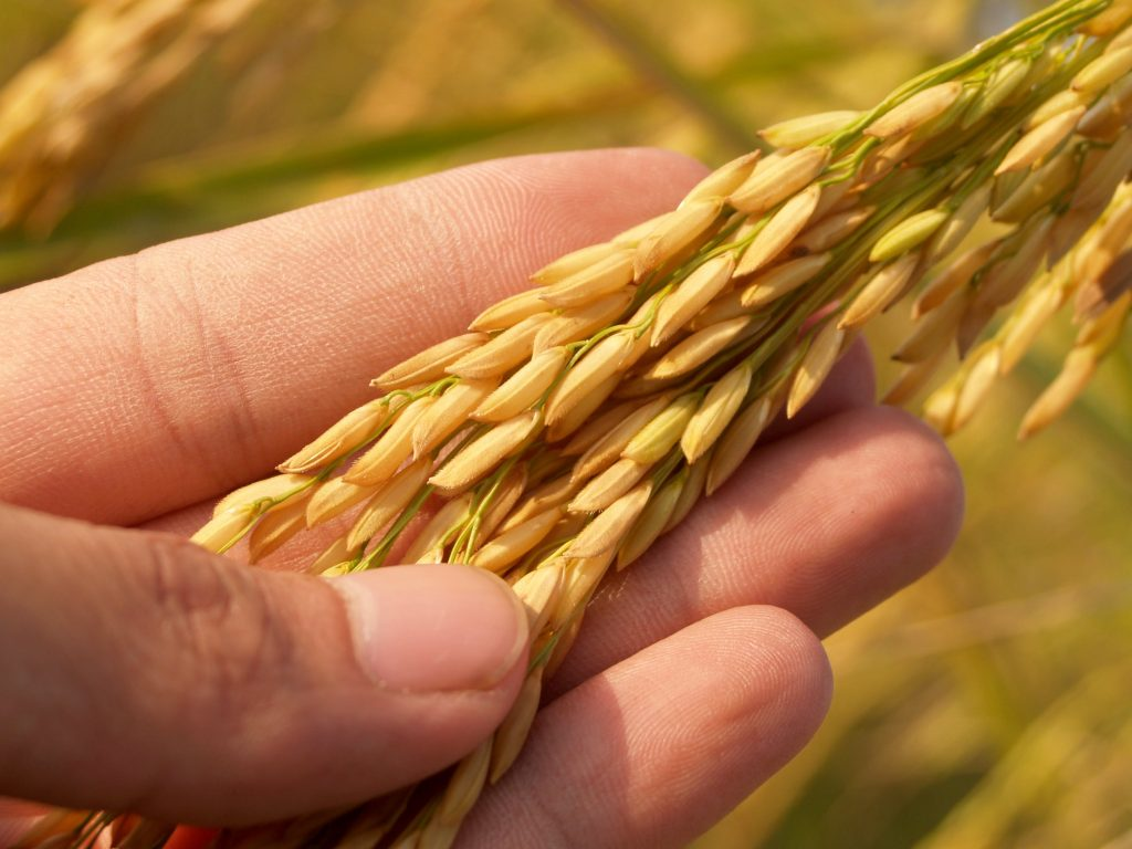 rice crops by Uralchem fertilizer products
